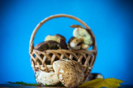 forest fresh natural mushrooms boletus on a blue background 免版税图像