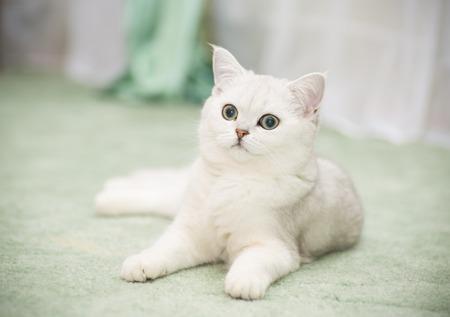 beautiful young cat breed Scottish chinchilla straight Banco de Imagens - 114924671