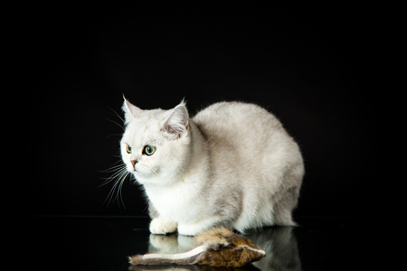 Beautiful young cat, breed Scottish chinchilla straight