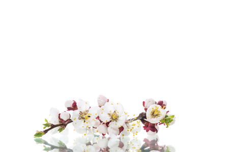 Branch with apricot flowers on a white background Imagens