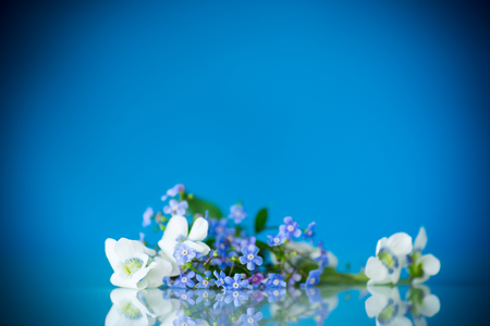spring small white and blue flowers isolated on blue