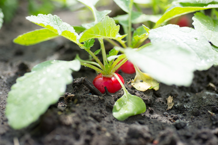 fresh organic red radish with leaves growing 写真素材