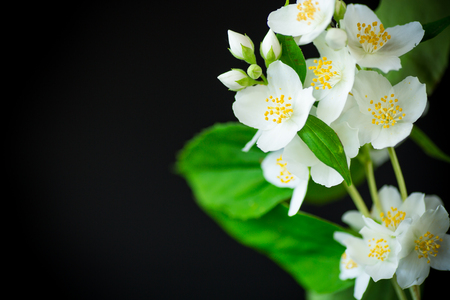beautiful white jasmine flowers on a branch isolated on black background
