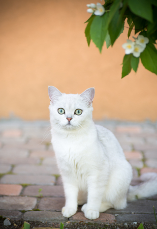domestic cat breed Scottish chinchilla straight white color walking outdoors