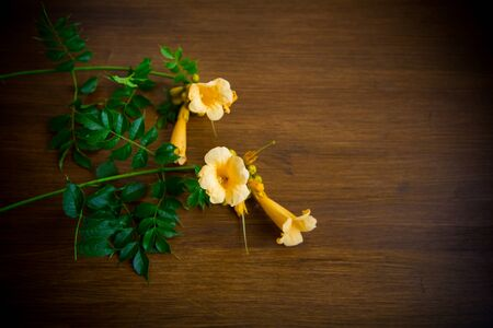 Blooming curly flower kampsis on a branch, on a wooden table