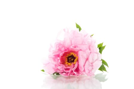Pink Peony flower ,Paeonia suffruticosa, isolated on white background Stock Photo