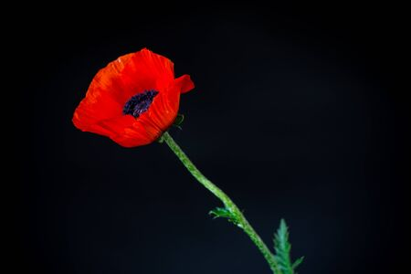 beautiful red blooming poppy flower isolated on black background Imagens