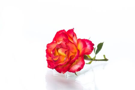 two-tone red-yellow rose close-up isolated on a white background.