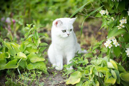 domestic cat breed Scottish chinchilla straight walking outdoors