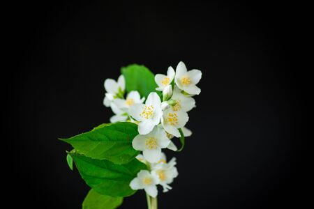 beautiful white jasmine flowers on a branch isolated on black