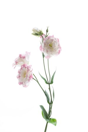 beautiful pink lisianthus flowers isolated on white