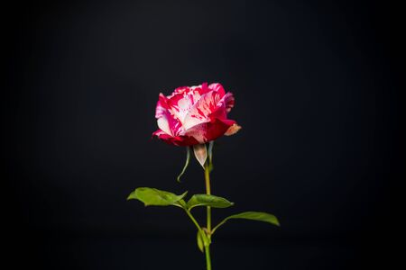 two-tone white with red rose on a black background Stockfoto