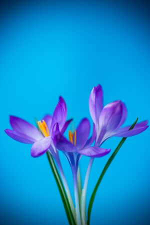 spring purple little crocus flowers isolated on blue background