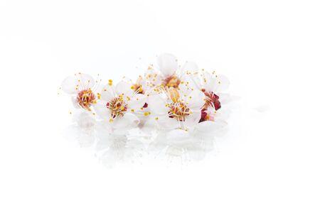 一枝盛开的春杏花上一片白色