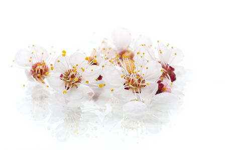 Branch of blooming spring apricots on a white