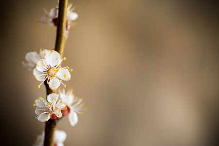 Branch of blooming spring apricots on a light blurry background