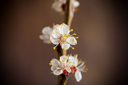Branch of blooming spring apricots on a dark blurry background