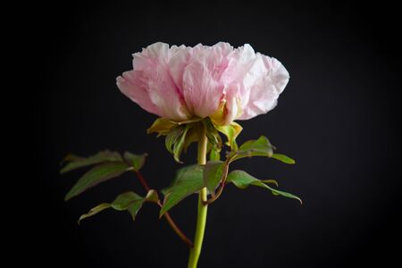 blooming pink tree-like peony flower isolated on black background