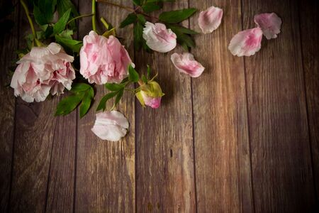 beautiful pink blooming peonies with petals on a wooden table Stok Fotoğraf - 147582337