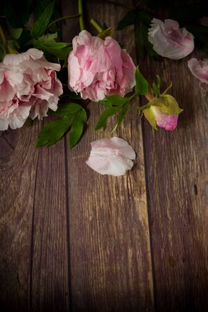 beautiful pink blooming peonies with petals on a wooden table Stok Fotoğraf - 147582477
