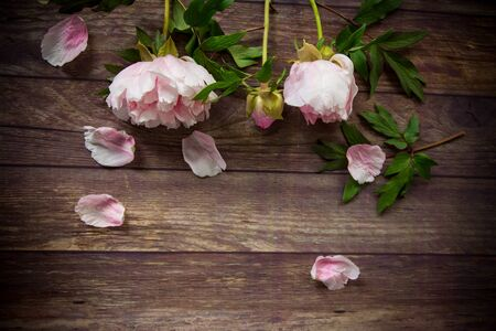 beautiful pink blooming peonies with petals on a wooden table Stok Fotoğraf
