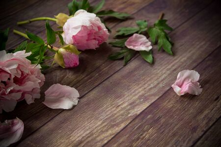 beautiful pink blooming peonies with petals on a wooden table Stok Fotoğraf - 147582445