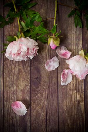 beautiful pink blooming peonies with petals on a wooden table Stok Fotoğraf - 147582436
