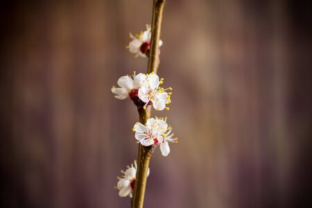 Branch of blooming spring apricots on a dark background
