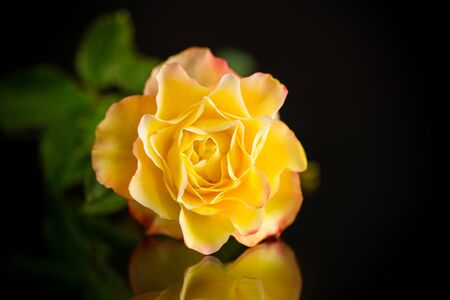 Yellow rose with green leaves, on a black background Standard-Bild