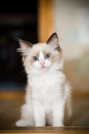 small two month old Ragdoll kitten at home