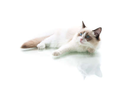 Young beautiful Ragdoll cat on white background