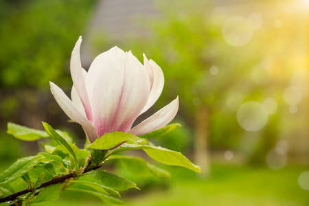 one pink flower on a branch of blooming magnolia close-up