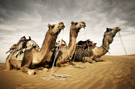 carved letters: Camels resting in the desert.Thar Desert, Rajasthan, India.  Stock Photo