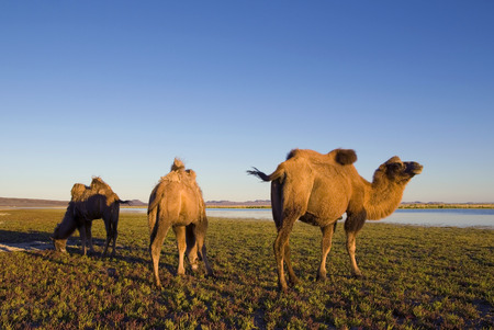 independent mongolia: Three camels eating grass in a scenic nature. Stock Photo