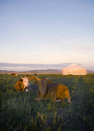 independent mongolia: Herd of domesticated cows lying down in front of a tent in a beautiful scenic. Stock Photo