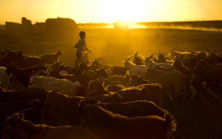 independent mongolia: Kazakh boy herds his goats for milking. Gobi, Mongolia.  Stock Photo
