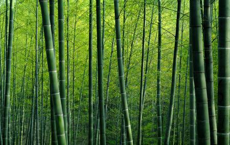 bambou: Forêt de bambous.