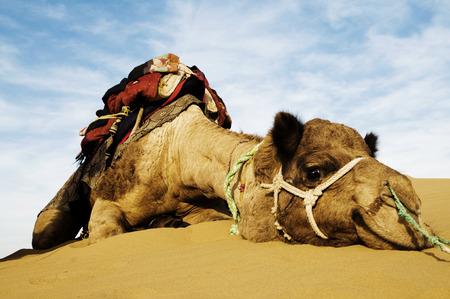 thar: Johnnie the cutest camel. Dromedary camel in the Thar Desert, Rajasthan, India. Stock Photo