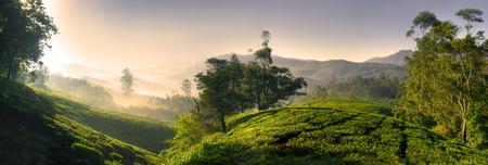 Panorama of bautiful tea plantation at sunrise. Kerela, India.  photo