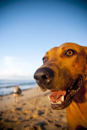 samoa: Beach dog on samoa beach. Stock Photo