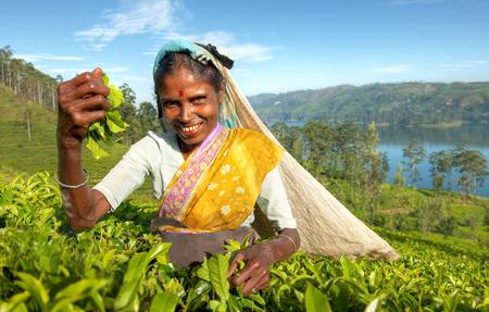 agriculture sri lanka: Indigenious Sri Lankan tea picker.