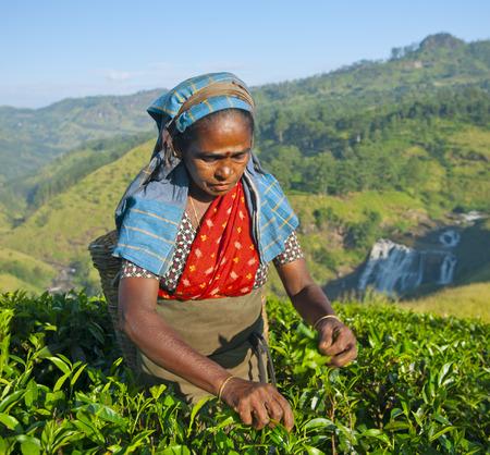 phenomenon: Tea picker picks leaves.
