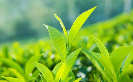 green leaves: Green leaves in Sri Lanka.