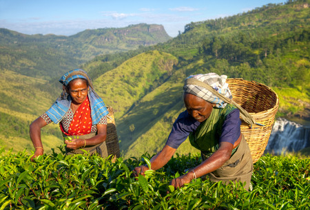 tea plantation: Women tea pickers in Sri Lanka. Stock Photo