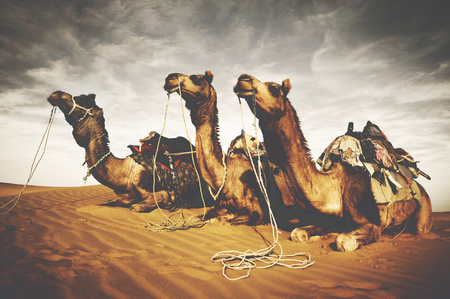 thar: Camels Reating Desert Indian Culture Concept Stock Photo
