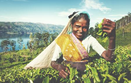 indian subcontinent ethnicity: Indigenous Sri Lankan Tea Picker Harvesting Concept