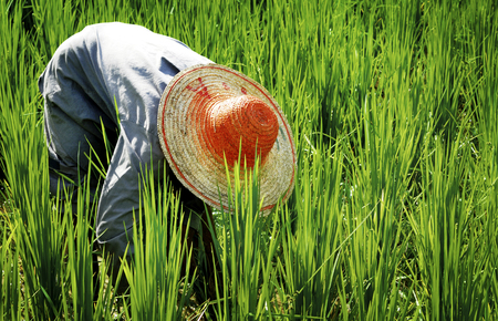 asian culture: Farmer Harvesting Rice Nature Asian Culture Concept