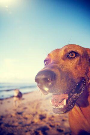 dogs playing: Beach Dog on Samoa Beach Playful Pet Concept