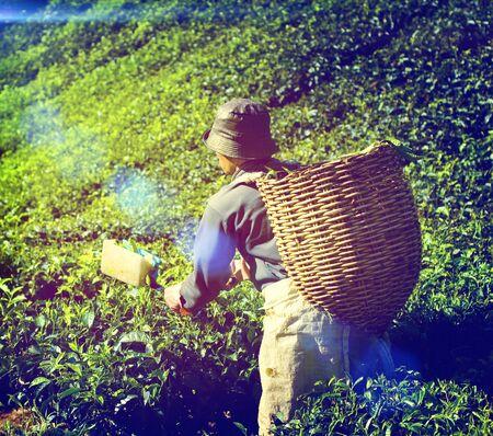 indigenous: Farmer Picking Tea leaf Indigenous Culture Concept Stock Photo