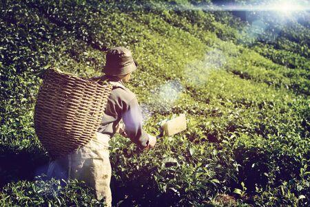 indigenous culture: Farmer Picking Tea leaf Indigenous Culture Concept Stock Photo